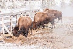 Пасти бизона или буйвола Стоковые Фотографии RF