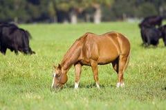 пасти выгон лошади Стоковые Изображения RF