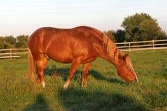 пасти выгон лошади Стоковые Фото