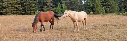 Пасти жеребца залива и дикие лошади жеребца Palomino в дикой лошади гор Pryor выстраивают в ряд в Монтане США Стоковые Изображения