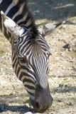 пасти зебру Стоковое Изображение RF