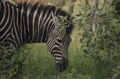 пасти зебру Стоковая Фотография RF