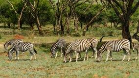 пасти зебр Стоковая Фотография RF