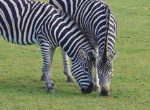 пасти зебр стоковое изображение rf