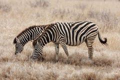 пасти зебр Стоковые Изображения