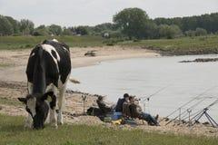 Пасти и мальчики коровы удя в реке Waal стоковые изображения