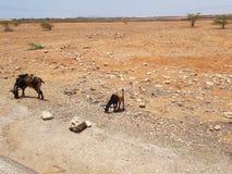 Пасти коз стороной дороги стоковое фото