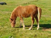 Пасти коричневую лошадь на зеленом поле Стоковое фото RF