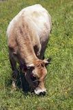 Пасти корову в зеленой траве Стоковые Изображения RF