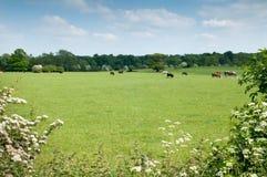 Пасти корову в луге зеленой травы Стоковое Изображение RF