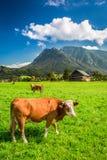 Пасти коровы на выгоне в Альпах Стоковая Фотография