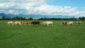Пасти коров в зеленом поле луга лета сток-видео