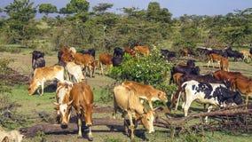 Пасти коров в Masai Mara Стоковые Изображения