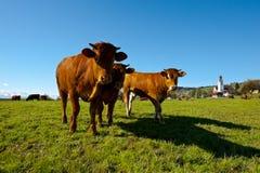 Пасти коров Стоковое Изображение RF