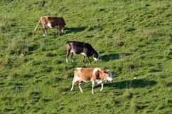 Пасти коров #2 Стоковые Фото