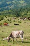 Пасти коров Apennines Стоковое фото RF