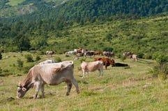 Пасти коров Apennines Стоковая Фотография RF