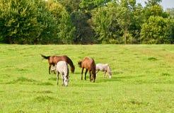Пасти лошадей в зеленом поле стоковые изображения rf