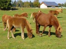 Пасти лошадей на зеленом выгоне Стоковые Изображения