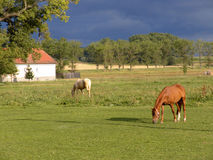 Пасти лошадей на зеленом выгоне Стоковая Фотография