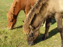 Пасти лошадей на зеленом поле Стоковое Изображение