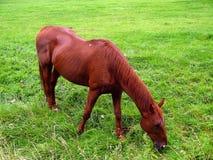 пасти лужок лошади Стоковые Изображения RF