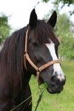 пасти лужок лошади Стоковое Фото