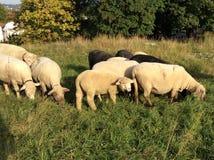 Пасти овец на выгоне Стоковая Фотография