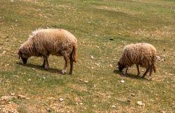 Пасти овец на зеленом поле Стоковое Изображение