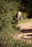 Пасти овец скалистой горы (canadensis барана) Стоковое Фото