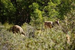 Пасти овец скалистой горы (canadensis барана) Стоковые Изображения RF