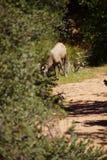 Пасти овец скалистой горы (canadensis барана) Стоковое Изображение RF