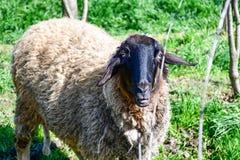 пасти овец стоковое изображение