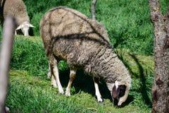 пасти овец стоковая фотография rf