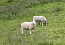пасти овец Стоковое Фото