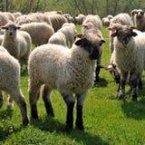 пасти овец Стоковая Фотография