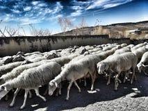 пасти овец Стоковое Изображение RF