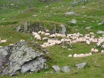 пасти овец Стоковые Изображения
