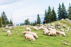 пасти овец Стоковые Фотографии RF