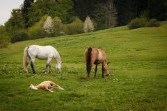 пасти лошадей на лугах горы зеленого цвета Стоковая Фотография RF