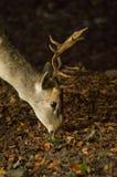 пасти оленей самеца оленя залежный Стоковое Изображение RF