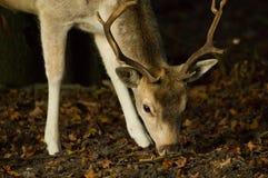 пасти оленей самеца оленя залежный Стоковые Фото