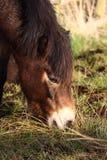 пасти пони Стоковые Фотографии RF