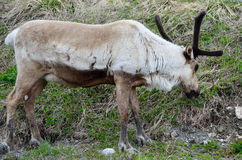 пасти северный оленя Стоковые Фото