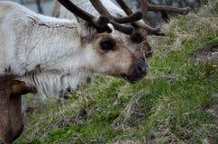 пасти северный оленя Стоковое фото RF
