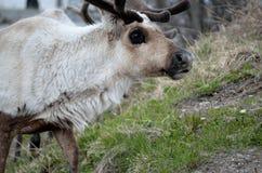 пасти северный оленя Стоковая Фотография RF