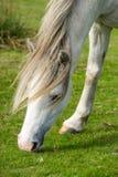 Пасти серый пони Welsh одичалый Стоковые Изображения RF