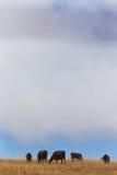 Пасти скотин в вертикали на сельском горном склоне Стоковые Фотографии RF