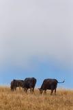 Пасти скотин в вертикали на сельском горном склоне Стоковое Изображение RF