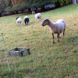 Пасти черно-белых овец Стоковые Изображения